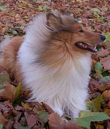 Collie with autumn leaves